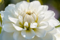 White dahlia macro Royalty Free Stock Photo