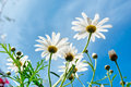 White daisies against skies sof focus on tallest flower shot in sicily Stock Images