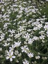 White daisies blooming in late spring in the garden. Royalty Free Stock Photo