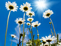 White daisies on blue sky Royalty Free Stock Photo