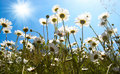 White daisies on blue sky Stock Images