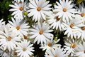 White daisies Royalty Free Stock Photo
