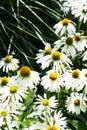 White Daisies on Dark Green Royalty Free Stock Photo