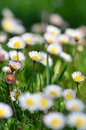 White daisies field in the spring Royalty Free Stock Photography
