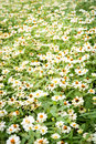 White daisies flower background Royalty Free Stock Photo