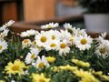 White daisies flower group Royalty Free Stock Photo
