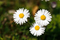 White daisies in a green meadow Royalty Free Stock Photo