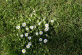 White Daisies growing in the grass Royalty Free Stock Photo