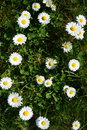 White daisies growing in the meadow. Green grass. Royalty Free Stock Photo