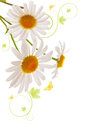 White Daisies. Royalty Free Stock Photo