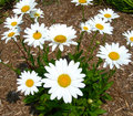 White daisies landscape with a bunch of daisy flowers Stock Images