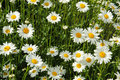 White daisies in sunlight Stock Photos
