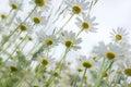 White daisies. Royalty Free Stock Photo