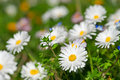 White daisy background Stock Photography