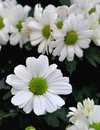 White daisy a beautiful flowers in spring Stock Photo