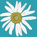 White daisy chamomile on a blue background. Cute flower plant collection. Love card. Camomile icon Growing concept. Flat design.