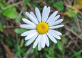 White daisy close up Stock Photos
