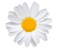 White daisy close-up isolated on white background. Royalty Free Stock Photo