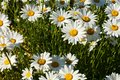 White daisy closeup of the and pure growing in the garden Stock Images