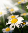 White daisy field Royalty Free Stock Image