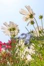 White daisy flower against blue sky Royalty Free Stock Photo