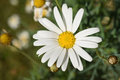 White Daisy Flower In Green Na...