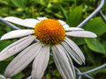 White daisy flower growing through a chain link fence Royalty Free Stock Photo
