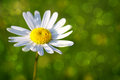 White daisy flower . Royalty Free Stock Photo