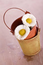 White daisy flower with old tin bucket Royalty Free Stock Photo