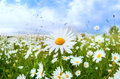 White daisy flower over blue sky Royalty Free Stock Photo