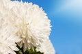 White Daisy Flower Under the Sky Royalty Free Stock Photo