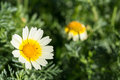 White daisy flower with yellow center Royalty Free Stock Photo