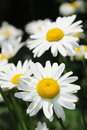 White Daisy flowers Royalty Free Stock Photos