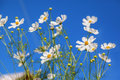 White daisy flowers against blue sky Royalty Free Stock Photo