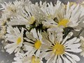 White daisy flowers in the morning Royalty Free Stock Photo