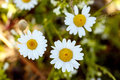 White daisy flowers over green background Royalty Free Stock Photo