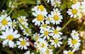 White daisy flowers over green field Royalty Free Stock Photo