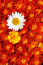 White daisy and french marigolds Royalty Free Stock Photo