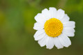 White daisy in green background detail Stock Photography