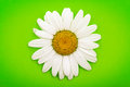 White daisy on green a flower a background Royalty Free Stock Photos