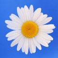 White daisy isolated Stock Photos