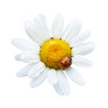 White daisy with ladybug isolated on background Royalty Free Stock Photography