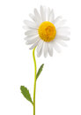 White daisy Royalty Free Stock Photo