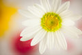 White daisy type flower with bright yellow center, colorful background Royalty Free Stock Photo