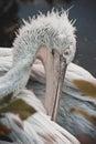 White dalmatian pelican portrait beautiful close up Royalty Free Stock Photos