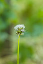 White dandelion and gray bug Royalty Free Stock Photo