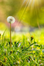 White dandelion on green grass blur background yellow one in park in sunlight Stock Images
