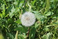 A white dandelion grows in the field. Royalty Free Stock Photo