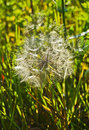 White dandelion grows in a grass green Stock Photography