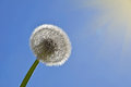 White dandelion over clear blue sky and sunshine Royalty Free Stock Photo